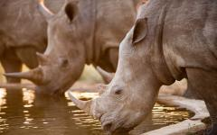 Group of African rhinos drinking at a waterhole in Kruger National Park, South Africa