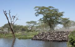 Herd of wildebeest standing at the edge of a river bed and drinking together | Tanzania, Africa