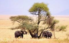 A small family of African elephants cooling down under the shade of a tree in the Tanzania safari lands
