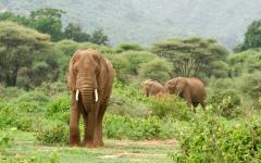 Trio of African elephants in Lake Manyara National Park, Tanzania, Africa