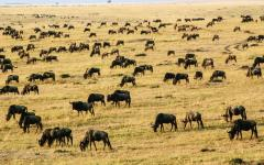 Herd of wildebeest spread out and grazing  the Tanzanian landscape