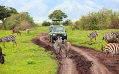 Herd of African zebra surrounding a safari tour jeep on a dirt road | Tanzania, Africa