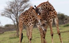 Two giraffes embracing each other in Serengeti National Park, Tanzania, Africa