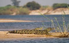 Two young crocodiles on the bank of the Zambezi River | Zambia, Africa