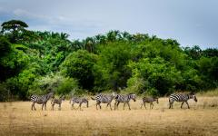 Line of 7 zebra walking together through the Rwanda, Africa safari land