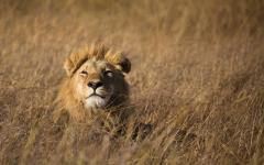 Male lion lying down and peering over tall grass |