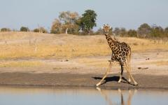 African giraffe standing awkwardly to reach a waterhole