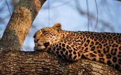 Close up of a South African leopard resting in a tree