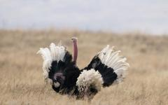 An African ostrich spreading its wings and showing off its impressive size in Tanzania