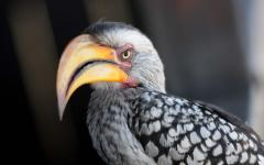 Close up of a yellow-billed hornbill