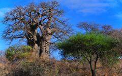 A pair of baobab trees standing tall above all other trees