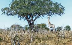View of a giraffe reaching up to reach leaves on a tall branch of a tree | Chobe National Park, Botswana