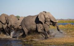 Family of elephants storming out of a waterhole together in Botswana, Africa