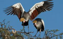 Two African crowned cranes perched at the top of a tree both fixated on something on the ground | Hwange National Park, Zimbabwe, Africa