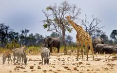 Group of zebra, elephants and giraffes grazing the lands of Hwange National Park, Zimbabwe, Africa