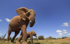 Upwards view of an African elephant and her calf walking through the Kenyan plains