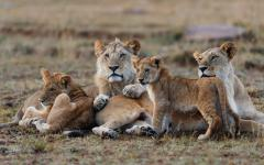 African lion family lying down together in Maasai Mara National Reserve, Kenya, Africa