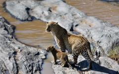 African leopard with her cub standing on the edge of Olare Orok River in Masai Mara, Kenya