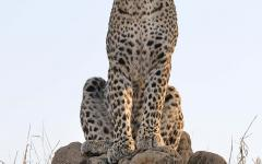 African leopard sitting perched on a tall dirt hill getting a clear view of the landscape