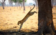 Leopard leaping down from a tree in South Luangwa National Park, Zambia, Africa
