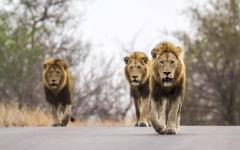 Trio of intimidating male lions walking down a street in Kruger National Park, South Africa
