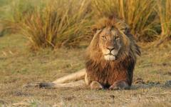 Regal male lion lying down in the African bush of Kafue National Park, Zambia