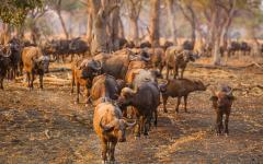 Herd of African buffalo migrating through a forest | Zambia, Africa