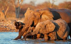 Two adult African elephants and elephant calves bathing together | Namibia, Africa