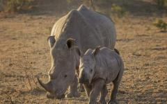 Mother white rhino walking with her young calf in the Sabi Sands Game Reserve, South Africa