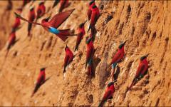 Southern carmine bee-eaters | Zambia, Africa