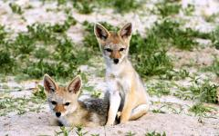 Two backed jackal puppies sitting side-by-side in sand | Hwange National Park, Zimbabwe, Africa