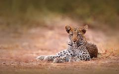 Young African leopard lying down in Hwange National Park, Zimbabwe, Africa