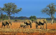 Family of elephants walking across the African plains in Zambia
