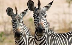 Two zebras looking attentively at the photographer | Zambia, Africa