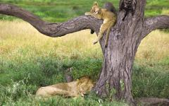 Two young lions napping on a tree at midday | Zambia, Africa