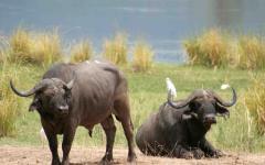 Two African buffalo resting on the edge of a waterhole | Zimbabwe, Africa