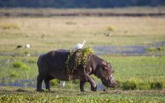 A zimbabwe hippopotamus walking out of a waterhole with weeds and a white egret hitching a ride on its back