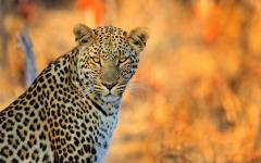 Regal African leopard staring right back at the photographer | Hwange National Park, Zimbabwe, Africa
