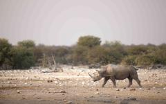 Black rhino walking across the drylands of Zimbabwe