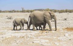 Mother elephant leading her two young calves through a patch of dry Zimbabwe land