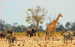 A mixed group of giraffes, zebra, and elephants grazing the same land in Zimbabwe, Africa