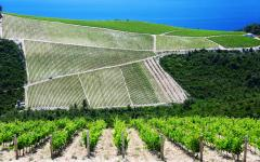 A vineyard along the Dalmatian coast in Croatia.