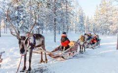 Family reindeer safari in Lapland.