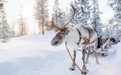 Reindeer sleigh ride through Lapland, Finland.