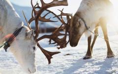 Reindeer locking antlers
