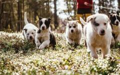 Puppies running in grass