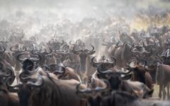 Africa_Tanzania_Wildebeest_Great_Migration