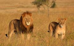 Africa_Lion_Lionness