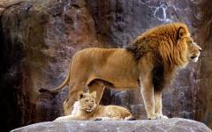 Africa_Safari_Lion_and_Cub