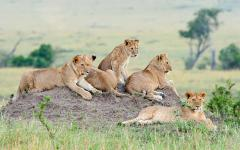 Africa_Eastern_Young_Lions_on_a_Hill